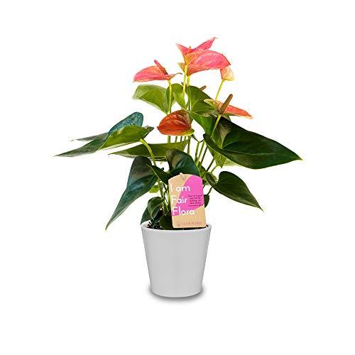 Nachhaltig produzierte Zimmerpflanze von FAIR FLORA® – 1 x Nestfarn im weißen Keramiktopf – Höhe: ca. 40 cm – Lateinischer Name: Asplenium Nidus