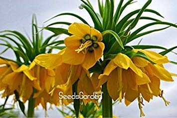 ASTONISH Erstaunen SEEDS: Förderung 10 PC/Beutel-Gelb Kaiserkrone Seeds imperialis Lu Seeds Easy To Home Garten Bodendecker Anlage wachsen, LA01DW