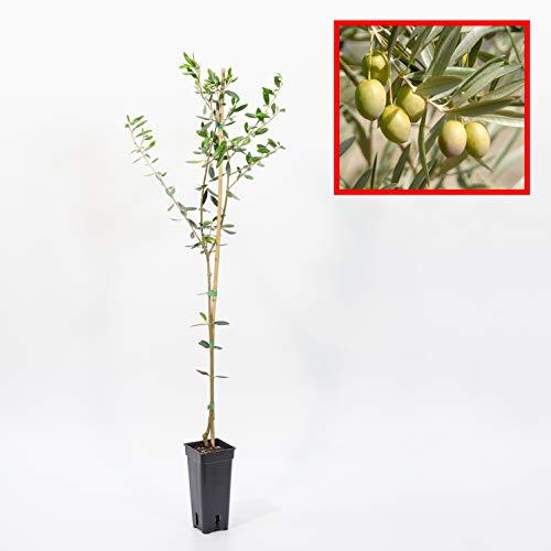 OLIVO manzanillo - plantón 1 metro - ACEITURA MANZANILLA - planta viva (1)