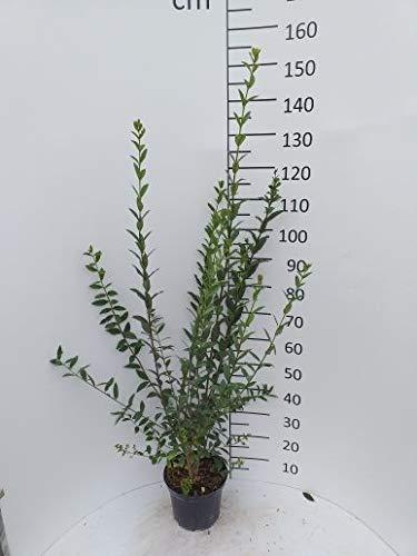 Späth Schwarzgrüner Liguster 'Atrovirens' Heckenpflanze winterhart Zierstrauch immergrün 1 Pflanze Container C 5