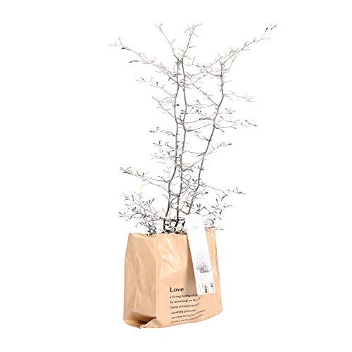 BOTANICLY | Gartenpflanze | Corokia Cotoneaster | 30 cm | Set aus 2 Pflanzen - 3