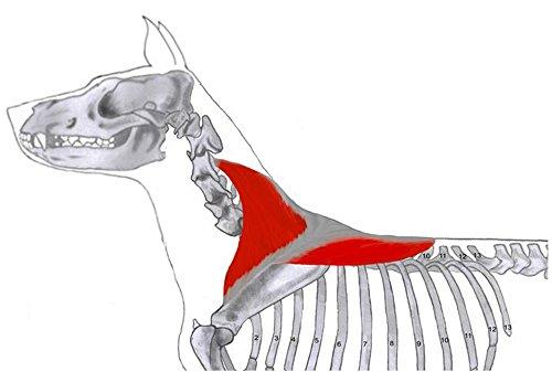 Lernkarten - Muskulatur des Hundes - Physiotherapie
