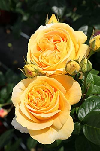 Edelrose Candlelight in goldgelb - Duftrose winterhart - Rosen-Blüte in goldgelb - Rose stark duftend im 5 Liter Container von Garten Schlüter - Pflanzen in Top Qualität