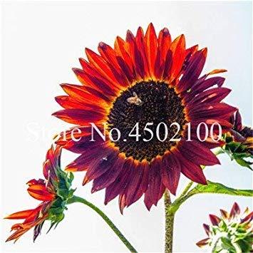 Potseed . 50 Stück Mini-Sonnenblume, Sonnenblume Bunte Innen für Hausgarten Zierpflanzen leuchtet Ihren Garten: 5