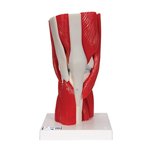 3B Scientific A882 Modelo de anatomía humana Articulación de la Rodilla, 12 Partes + software de anatomía gratuito - 3B Smart Anatomy