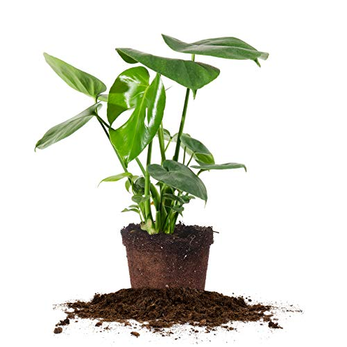 Perfect Plants Monstera Deliciosa | Split Leaf Philodendron | Live Indoor Houseplant | Easy Care | Low to Bright Light Requirements |, 6 in. Pot, Air Purifying