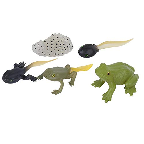 Zerodis Modèle de cycle de croissance, grenouille vive, jouet d'éducation précoce