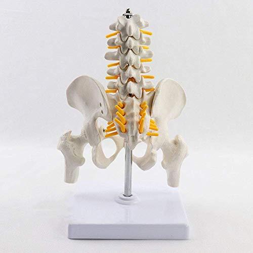 UYZ Weibliches anatomisches medizinisches Beckenmodell, Becken Beckenstruktur Organe Natürliche Struktur Natürliche Beckenbodenmuskulatur Medizinische Ausbildung Anatomie