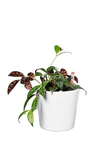 EVRGREEN | Zimmerpflanze Schamblume in Hydrokultur mit weißem Topf als Set | Aeschynanthus marmoratus