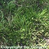 Mooskraut - Selaginella helvetica