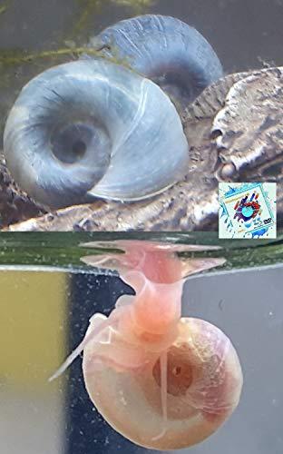 Schnecken Mix - 3X Rosa Rote Posthornschnecken+ 3X Blaue Posthornschnecken - Mix für Ihr Aquarium