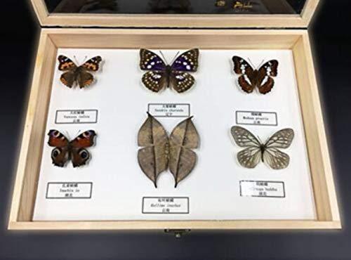 Insektenproben Schmetterling Exemplare Biologische