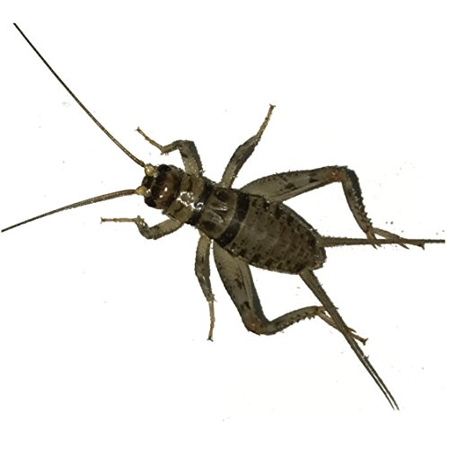 1000 crickets large - 2