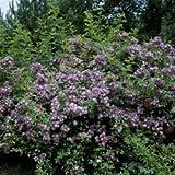 'Veilchenblau', Ramblerrose im Rosen-Container