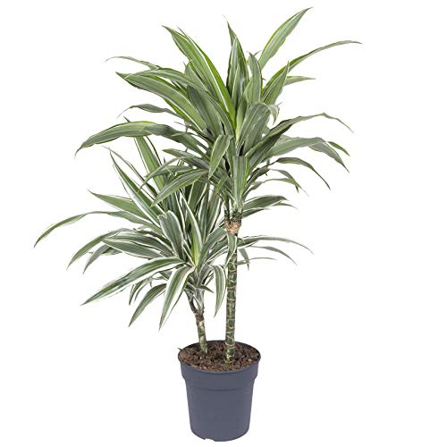 Pflanzen Kölle 2er-Tuff Drachenbaum, Dracaena fragrans 'White Stripe', Topf 19 cm, Höhe ca. 90 cm