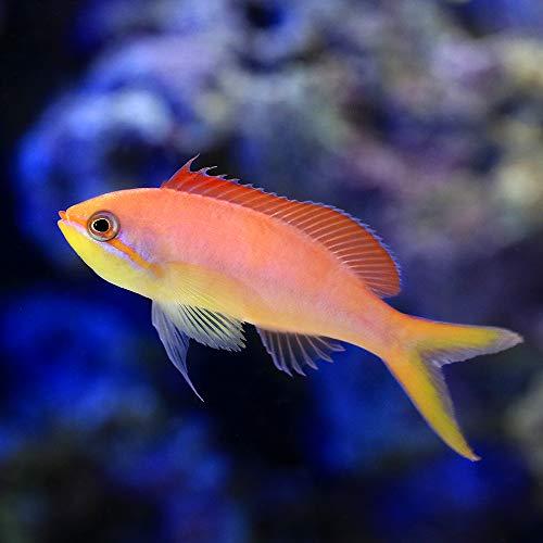 (海水魚)アカネハナゴイ(1匹) 北海道・九州・沖縄航空便要保温