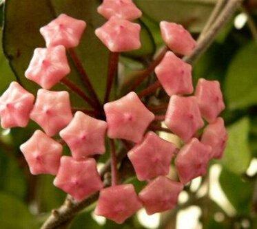 100pcs / sac Vente Hot arc Hoya Rare Graines Outdoor Blooming Bonsai plantes en pot de fleurs Maison et Jardin Livraison gratuite 10