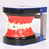 WANJIA Modelo anatómico de Dientes dentales Modelo de Dientes de...