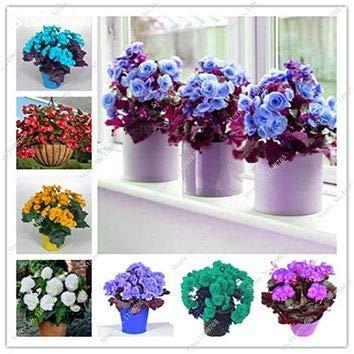 Livraison gratuite 100 Pcs rares Graines Begonia hybrida Voss lanternes Fleurs Begonia Graines décoratives chinoises Bonsai Fleurs Jardin 7