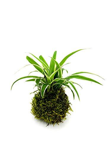Grünlilie Kokedama | Moosball | Zimmerpflanze | Luftreinigend | Haustierfreundlich | Chlorophytum | gut fürs Raumklima | ⌀6 cm (1)