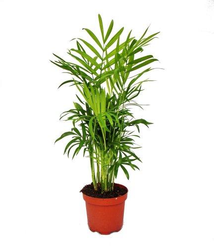 Exotenherz - Chamaedorea elegans - Bergpalme - 3 Pflanzen