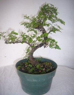 Pixies Gardens (5' Pot Bonsai Sweet Plum (Flowering) Very Popular As Bonsai Tree Small Pink-White Flowers
