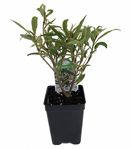 Willow Leaf Weeping Fig - Ficus - 2.5' Pot - Fairy Garden Plant or Bonsai