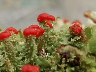 Appalachian Emporium's Live British Soldier Cladonia Cristatella Lichen for Terrariums Gardens Bonsai 5 PACK