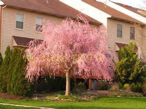 20 pièces de cerisier fontaine en pleurs, bricolage jardin arbre nain, ornemental planter des graines d'arbres bonsaï sakura pour la maison