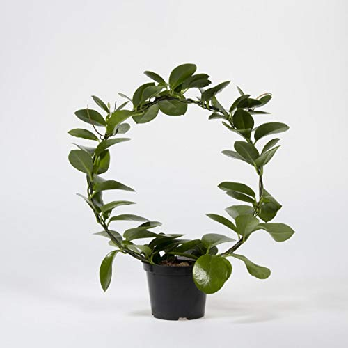 Porzellanblume Hoya Australis 45 cm Wachsblume Zimmerpflanze