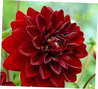 QIM 3 Bulb Beautiful Dahlia Arabian Night Tuber Clump - RK208