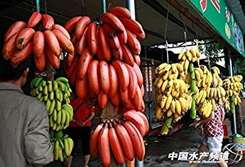 100 PCS très rares graines rouges de bananes, des plantes vivaces intéressants en plein air, le goût du lait, de délicieuses graines de fruits pour la maison et le jardin