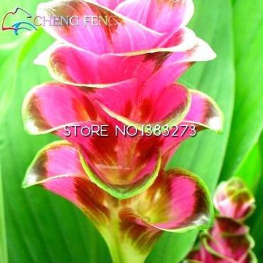 HOCH KEIMUNG Seeds Nicht NUR Pflanzen 20 Bonsai Kurkuma Curcuma LongaSeeds einfach wachsen Garden Fresh Bonsai Seed Bonsai Bonsai fre: Violett
