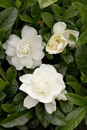 Shrub August Beauty Gardenia, 1 Gallon, Lustrous Green Foliage