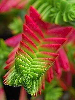 50 Pcs Crassula Capitella Thyrsiflora Red Pagoda Succulent Cactus Seeds