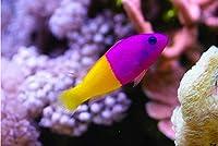 【海水魚/観賞魚/メギス】 バイカラードティーバック ■サイズ:3cm± (2匹)
