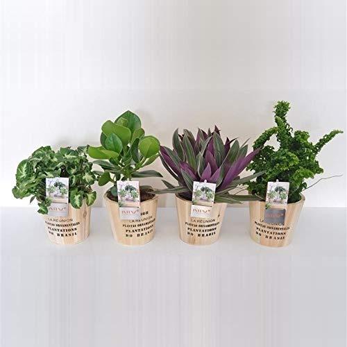 Mix de petite plante décorative | 4 plantes | plante d'intérieur| hauteur 30 cm | Pot 12 cm | Entretien facile