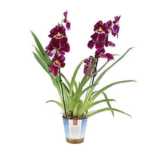 Miltoniopsis Red Tide | Orchidea con fiore rosso | Altezza 45-50 cm Vaso Ø 12 cm