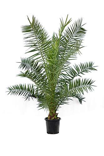 Kanarische Dattelpalme - Phoenix canariensis - Gesamthöhe 140-170 cm - Topf Ø 32 cm