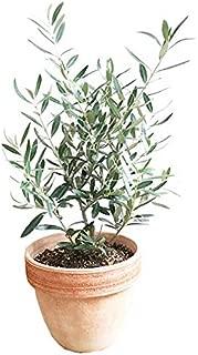 オリーブの木 イタリア製テラコッタ鉢植え 観葉植物 本物 ガーデニング インテリア ミニ 中型