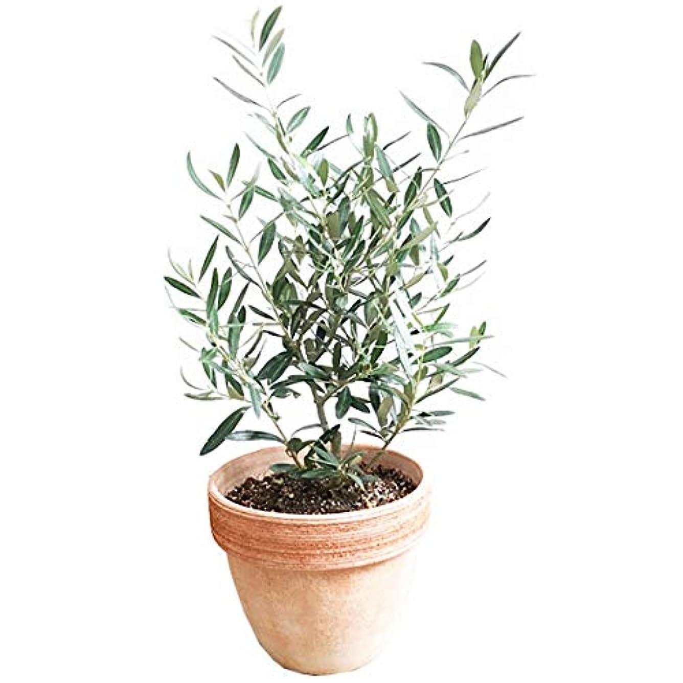禁輸符号速度オリーブの木 イタリア製テラコッタ鉢植え 観葉植物 本物 ガーデニング インテリア ミニ 中型