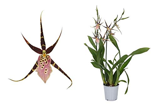 Orchidee von Botanicly – Spinnenorchidee – Höhe: 60 cm, 2 Triebe, lila-rosa Blüten – Brassia Shelob Tolkien