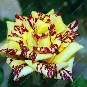 200pcs / sac rare multi-couleur rose graines rose graines de fleurs bonsaï graines bonsaïs rose noire balcon plante rare pour le jardin de la maison en pot 10