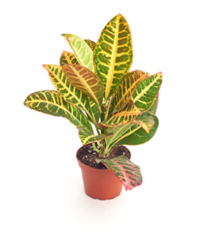 Shop Succulents   Standing Collection   Hand Selected, Air Purifying Live Croton...