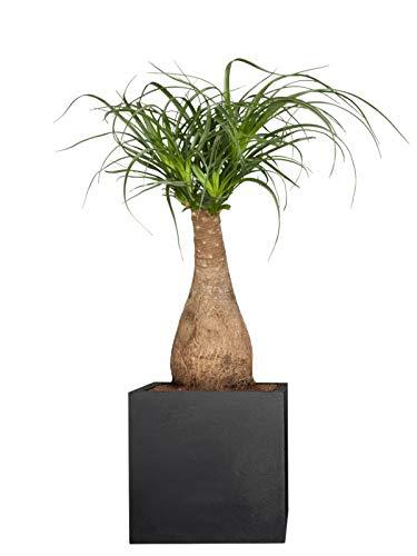 PFLANZWERK® Pflanzkübel Pflanzen - Elefantenfuss Beaucarnea Recurvata 70-75cm - Zimmerpflanze - Speziell für Blumentöpfe Blumenkübel *Exklusive Züchtung* *Premium Markenqualität*