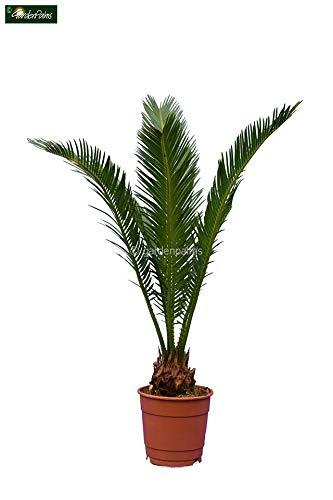 Cycas revoluta - Japanische Kogelpalme - Gesamthöhe 50-60cm Topf Ø 13cm