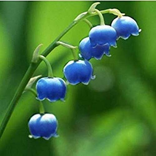 Elwyn 100pcs Lily of The Valley Flower Seeds