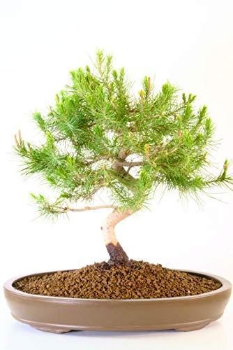 10 Pcs Pine Tree Seeds-Garden Bonsai Small Pine Tree