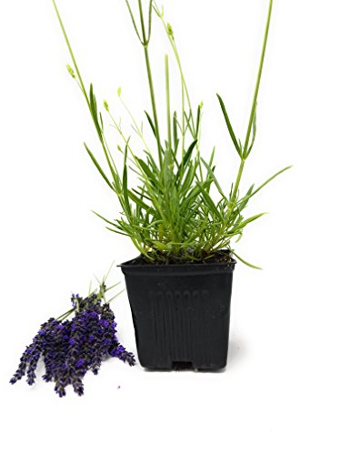 Findlavender - Provence French Lavender - Potted - Very Fragrant - 4' Size Pot - 1 Plant
