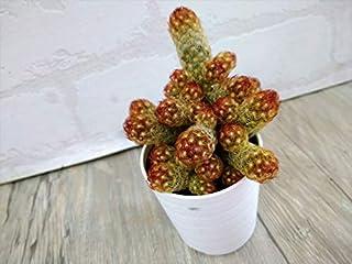 サボテン マミラリア属 【黄金司(こがねつかさ)】 7.5cmポット 多肉 観葉植物 寄せ植えに ミニサボテンアソート